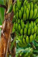 Image: Scientists scramble to stop bananas being killed off